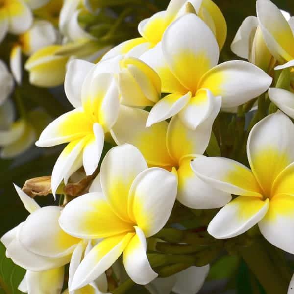 women perfume frangipani